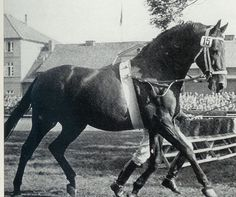 Absatz Born in 1960.Sired 40 Approved sons, 605 competition horses and 142 Verden auction horses