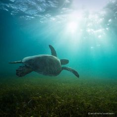 Trying to keep up with a green sea turtle gliding over the sea grass beds... not so easy!  Canon 5D Mk2 16mm ISO 250 1/160 sec @f8.  #thisisqueensland #seeaustralia #australiagram #ig_australia #hellobluey #exploreaustralia #exploringaustralia #aussiephotos #greatbarrierreef #seaturtle #wildlife #animalsaddict #animalpanet_fan #exclusive_animals #amazing_pictures #worldbestgram #cool_capture_ #thebest_capture #amazingphotohunter #openmyworld #adventurepic #exploretheglobe #dream_image…