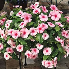 Cora® Cascade™ Strawberry Vinca Seeds Mildew-free and Ready to Bloom for Months! Flower Seeds, Flower Pots, Periwinkle Flowers, Bloom Where Youre Planted, Low Maintenance Plants, Annual Flowers, Organic Seeds, Hanging Baskets, Garden Inspiration