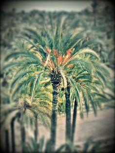 Palmeral de Elche . Desde el año 2000 declarado patrimonio de la humanidad por la UNESCO
