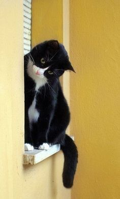 16 Tuxedo Cats and Kittens That Are Just Too Cute