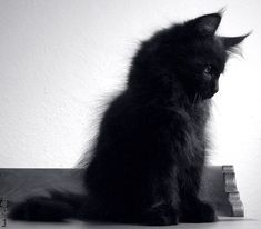 Cats beautiful fluffy kittens ideas for 2019 I Love Cats, Crazy Cats, Cool Cats, Fluffy Kittens, Cats And Kittens, Ragdoll Kittens, Tabby Cats, Bengal Cats, White Kittens
