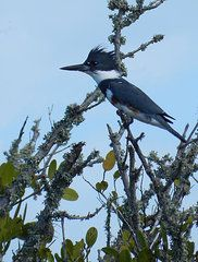 Grace Dillon Art - Female Belted Kingfisher by Grace Dillon