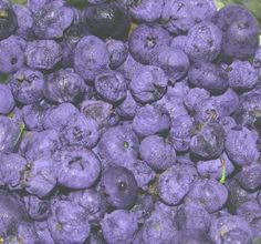 growing blueberries, easiest fruit to grow, best blueberry varieties | The Old Farmer's Almanac