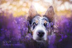 Lavender Memories by alicjazmyslowska #animals #animal #pet #pets #animales #animallovers #photooftheday #amazing #picoftheday