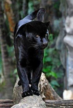 #BigCatFamily Black Panthers, Black Tigers, Black Jaguar Animal, Melanism, Big Cats, Cool Cats, Cats And Kittens, Nature Animals, Animals And Pets