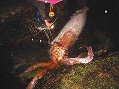 Lula-colossal É a maior espécie de lula já encontrada. Um exemplar foi capturado na Antártida, em 2007, medindo 10 metros e pesando quase 500 quilos. Este tipo de lula vive a entre 1000 e 2500 metros de profundidade.