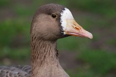 Tule Goose   by writhedhornbill