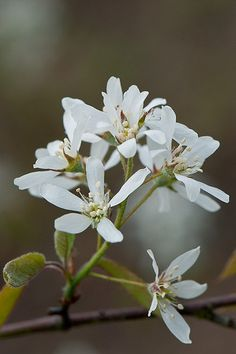 Blossom of Amelanchier laevis 'Prince Charles', early April. Also known as Allegheny serviceberry. Prince Charles