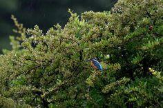 Kingfisher in Rain by Mubi.A