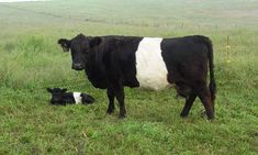 Belted Galloway cow with calf Miniature Cow Breeds, Miniature Cattle, Cute Baby Animals, Farm Animals, Animals And Pets, Wild Animals, Funny Animals, Galloway Cattle, Belted Cow