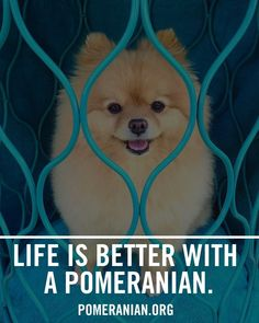 Marvelous Pomeranian Does Your Dog Measure Up and Does It Matter Characteristics. All About Pomeranian Does Your Dog Measure Up and Does It Matter Characteristics. Pomeranian Facts, Cute Pomeranian, I Love Dogs, Cute Dogs, Awesome Dogs, Pom Dog, Save A Dog, Getting A Puppy, Lap Dogs