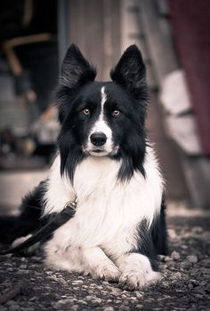 Which of the following were Border Collies bred for?