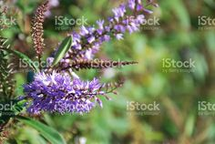 New Zealand Hebe Flower royalty-free stock photo Native Plants, Flower Photos, Image Now, New Zealand, Flora, Royalty Free Stock Photos, Photography, Beautiful, Photograph
