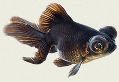 Australian rainbow and black moor Goldfish Facts & Care Guide