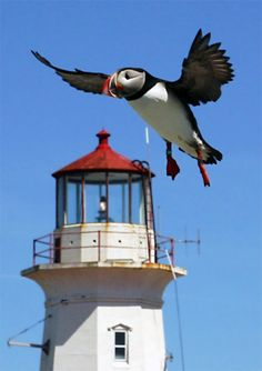 A puffin flies past the lighthouse on tiny Machias Seal Island located 12 miles from both Cutler, Maine and Canada's Grand Manan Island. Both countries have claimed sovereignty over the island. A lighthouse has stood guard here since 1832.