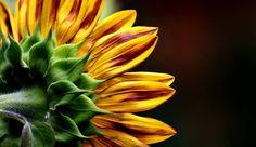 Free Image on Pixabay - Sunflower, Summer, Garden, Blossom