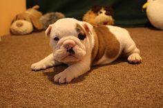 Bulldog Puppy -awhhh