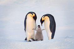 Familia de pingüinos emperador , la Antártida  Familia de pingüinos emperador , la Antártida