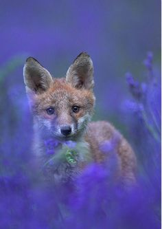 A fox standing in a field of lavender.