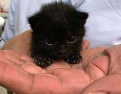 cute little animals 20 Cute Animals That Are So Tiny They Could Cuddle in the Palm of Your Hand Cute Baby Cats, Cute Cats And Kittens, Cute Little Animals, Cute Funny Animals, Kittens Cutest, Cute Dogs, Funny Cats, Baby Pets, Fluffy Kittens