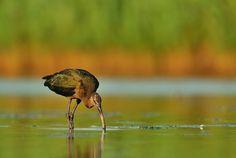 Glossy Ibis by Edmund  Lalik on 500px