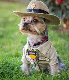 Cooper, a Yorkshire terrier, poses in his bark ranger uniform.