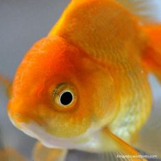 oranda the 1st type F.  he is the cutest one among of my very first home-born oranda goldfish.
