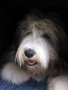 Missy - My Bearded Collie  She is such a love <3