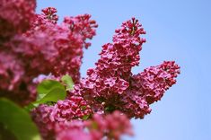 Plant your veggies when the lilac is in different stages of growth and bloom.  The lilac will tell you when to plant