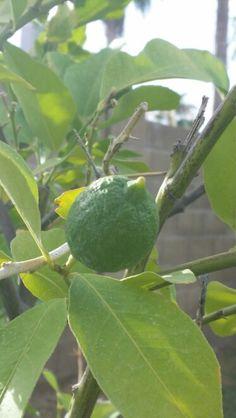 Lemon tree!!