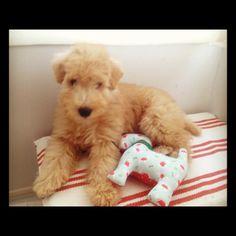 Theodore, lakeland terrier, 2.5 months old.