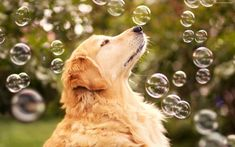 Golden Retriever Dog and Puppies – 35 Pictures Cute Puppies, Cute Dogs, Dogs And Puppies, Funny Animal Pictures, Funny Animals, Funny Pics, Adorable Animals, Animals Beautiful, Bubble Dog