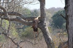Leopard kill in tree - Kruger Park Aug 2012