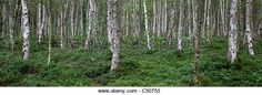 Birch trees in the Müritz National Park, Mecklenburg-West Pomerania, Germany, Europe