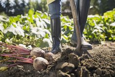 Rutabaga, turnip's quirky cousin, is a delicious root vegetable that's easy to grow. Find some growing tips and ideas for cooking with it. Root Vegetables, Growing Vegetables, Mint Bouquet, Growing Mint, Lentil Dishes, Seed Germination, Bountiful Harvest, Japanese Dishes, Potting Soil