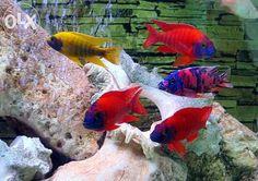 Aulonocara Firefish OB Blueberry - Google Search
