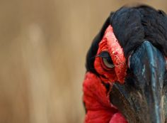 A southern ground hornbill glowers from this picture on National Geographic's site. Native to sub-Saharan Africa, the species can climb trees in pursuit of prey. In flight, it can reach up to 18 miles an hour.