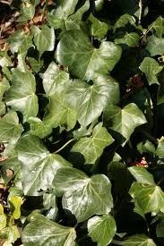 English ivy (Hedera helix) - leaves have medicinal properties - The ivy leaf is most widely used today as a treatment for respiratory tract congestion. Commission E, a prestigious medical group in Germany approved ivy leaf extract as an herbal decongestant as well as treatment for inflammation-related lung (bronchial) condition.