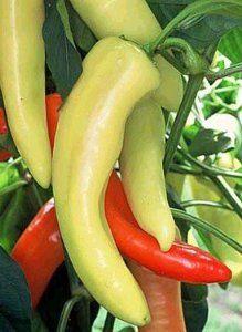 Long peppers in the garden