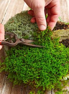 Make your own tabletop moss garden with these 5 simple steps! We even got good tips and tricks from moss expert, David Spain. Shade Garden, Garden Plants, House Plants, Potager Garden, Air Plants, Cactus Plants, Moss Terrarium, Terrarium Plants, Succulent Planters