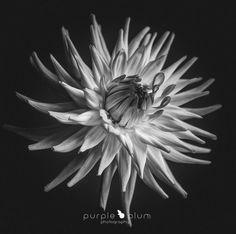Dahlia III by PurplePlum - Plants In Black And White Photo Contest