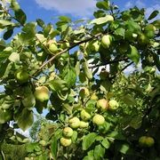 Aphid Control on Fruit Trees or shrubs = Mix two tablespoons Dawn to a gallon of water and put in your sprayer. Try to get spray both sides of the leaves, branches and the tree trunks. Let sit for about 15 minutes and then rinse the trees THOROUGHLY! Aphids On Plants, Honeycrisp Apple Tree, Apple Tree Care, Organic Fruit Trees, Prune Fruit, Barris, The Giving Tree, Dawn Dish Soap, Peach Trees