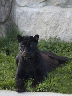 Black Panther by Fisherman01, via Flickr