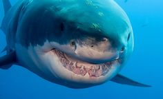 Island, Mexico | Great White Shark- that's where I'm going!