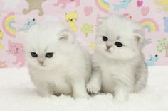Persian kittens for sale, Teacup sizes, Chinchilla Persians -