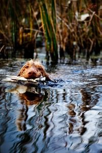 Home Page | Wirehaired Vizslas
