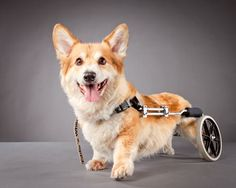 """Photographer Carli Davidson was inspired to create this beautiful and heartwarming series after seeing a German Shepherd in a wheelchair playing happily with its owner. According to Carli, """"It was so happy, a dog doing what dogs do, totally undeterred by its disability. I felt inspired by the whole scenario. The owner made this choice out of love, to do a little extra work every day to make sure his friend was happy and comfortable."""""""