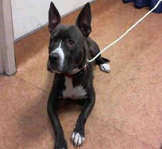 American Pit Bull Terrier dog for Adoption in Sacramento, CA. ADN-596220 on PuppyFinder.com Gender: Male. Age: Adult