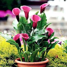 Zantedeschia Arum Lily Rose Queen 1 pcs, Colour: Pink, Product type: Flower bulb, Winterizing: No, Height: Size: Planting Depth (cm): Preferences: Full sun Zantedeschia, Rose Queen, Calla, Bulb Flowers, Pink, Tropical, Gardening, Calla Lilies, Sun